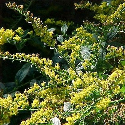 Shrubs and perennials clusters of golden yellow flowers blooms late summer fall amid rough hairy stems ideal in borders rock gardens or as a cut flower mightylinksfo