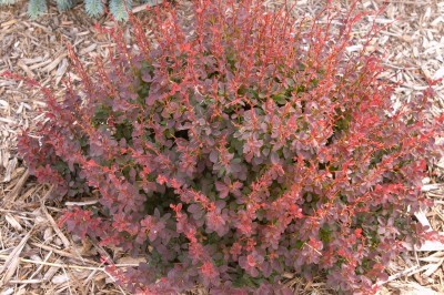 Shrubs and perennials a narrow upright growing deciduous shrub with showy bright yellow foliage pale yellow insignificant flowers in spring are followed by bright red mightylinksfo