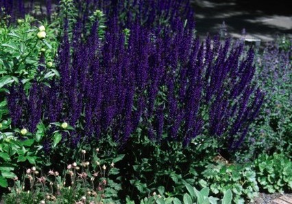 Shrubs and perennials flower spikes of indigo blue in early summer moist well drained soil is ideal although the perennial salvias are tolerant of drought conditions mightylinksfo